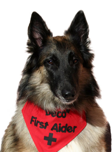 First aid dog looking at camera